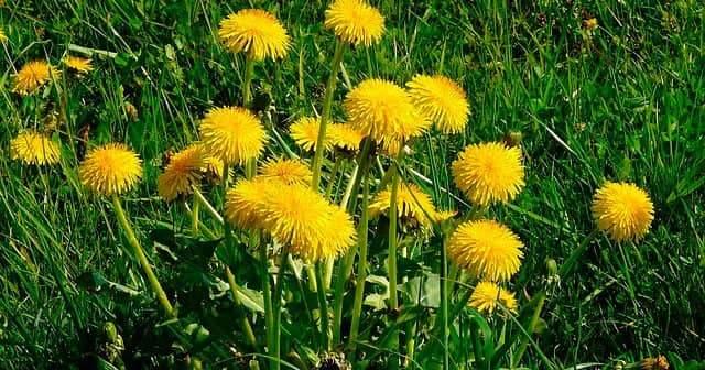 Karahindiba, Karahindiba Çiçeği Nedir, Karahindiba Çayı Nasıl Yapılır?