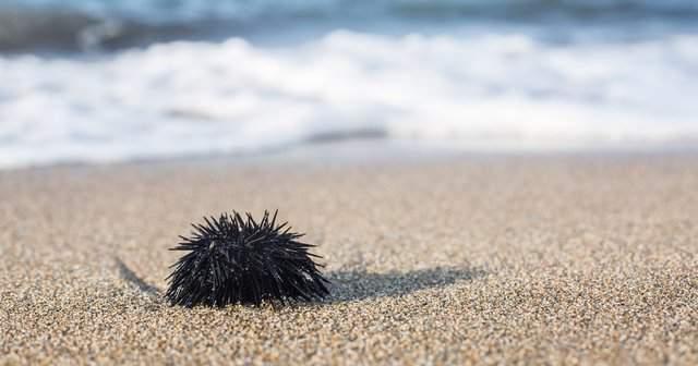 Deniz Kestanesi Çıkarılmazsa Ne Olur Deniz Kestanesi Sokması Tedavisi 81