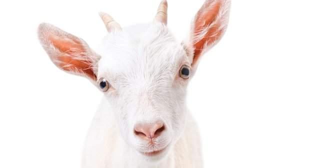 Keçi Sütlü Sabun Ne İşe Yarar Keçi Sütü Sabunu Kullananlar Memnun mu?