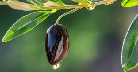 Zeytin Yaprağı Zayıflatırmı, Zeytin Yaprağı Çayı Nasıl Yapılır?