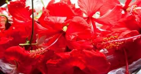 Nar Çiçeği Hibiskus Nar Çiçeğinin Faydaları Nelerdir