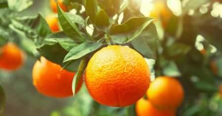 Portakal Yaprağının Faydaları Portakal Yaprağı Kürü Tarifi