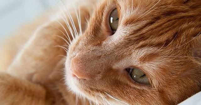 Kedim Çok Tüy Döküyor Kedilerde Bölgesel Tüy Dökülmesi Kedilerin Tüy Dökmemesi İçin Ne Yapmalı