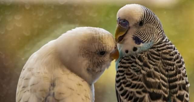 Muhabbet Kuşu Kaşınması Neden Olur Nasıl Geçer?
