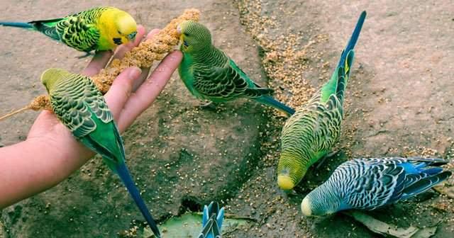 Muhabbet Kuşu Yemden Başka Ne Yer Nasıl Beslenir