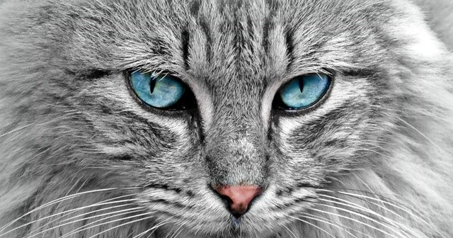Kedilerin Özellikleri, En Güzel Kedi Cinsleri