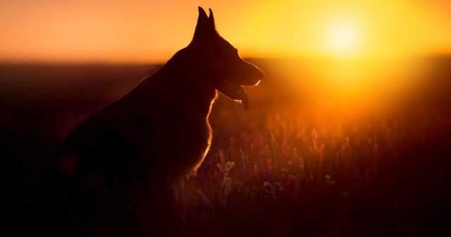 Alman Kurt Köpeği Bakımı Ve Beslenmesi Nasıl Yapılmalıdır?