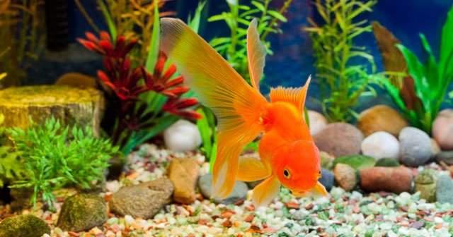Japon Balığı Neden Ölür Ne Kadar Büyür Ne Yer?