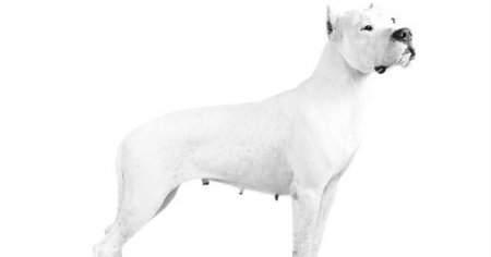 Arjantin Dogo Köpek Bakımı Ve Eğitimi Nasıl Olmalıdır?