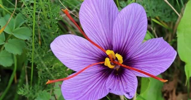 Safran Çiçeği Nasıl Yetiştirilir Safran Çiçeği Reçeli Tarifi