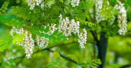 Akasya Ağacı Nedir Akasya Ağacının Özellikleri Ve Faydaları Nelerdir?