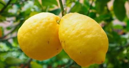 Evde Saksıda Minyatür Limon Ağacı Nasıl Yetiştirilir Sulanır