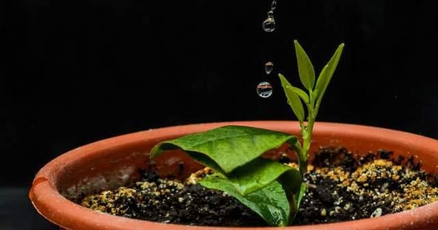 Evde Limon Çekirdeği Nasıl Ekilir Çekirdekten Limon Yetiştirme