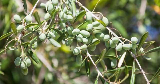 Zeytin Ağacı Bakımı İçin Altın Öneriler Püf Noktaları