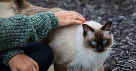 Kedilerde Hamilelik ve Doğum Belirtileri Nelerdir
