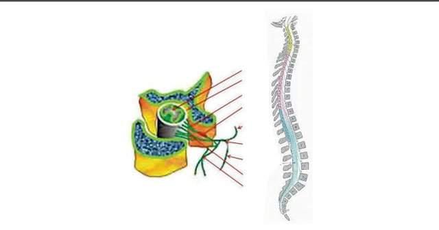 Medulla Spinalis (Omurilik) Nedir Ne İşe Yarar