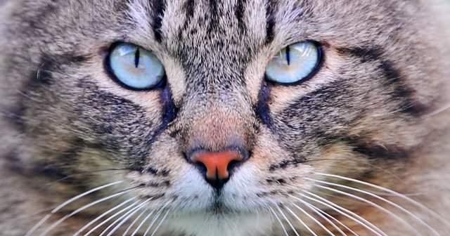 Kedilerde Akut ve Kronik Böbrek Yetmezliği Neden Olur Nasıl Geçer