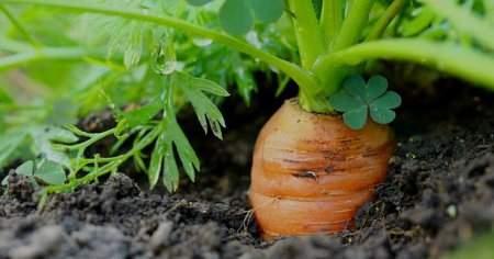 Havuç Nasıl Ekilir Havuç Tohumu Hangi Mevsimde Ekilir