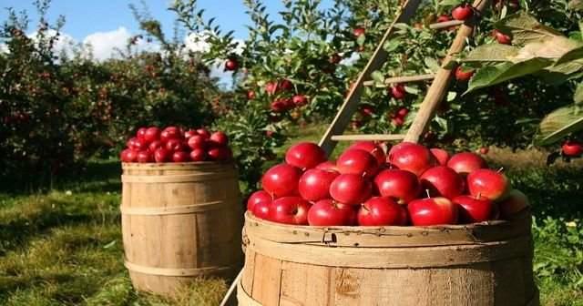 Elma Hangi Mevsimin Meyvesidir Hangi Ayda Toplanır