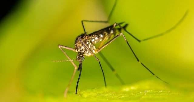 Doğal Sivrisinek Kovucu En İyi En Etkili 8 Yöntem Hangisidir?